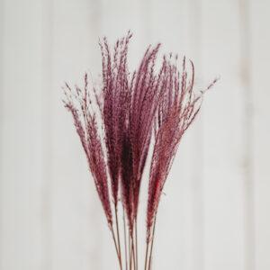 Federgras violett