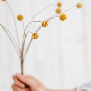 Craspedia Blumenbündel